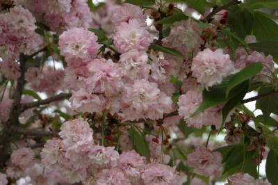 オオムラザクラ(大村桜)