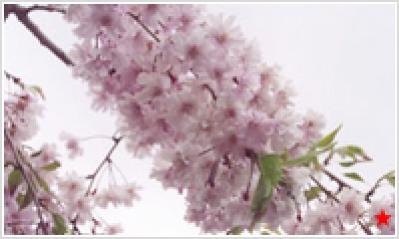 ヤエベニシダレザクラ(八重紅枝垂桜)
