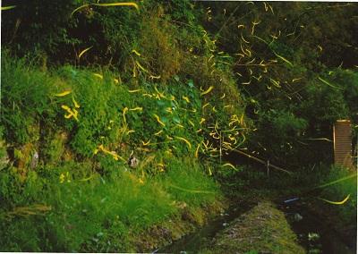 석전의 농촌에서는 밤이되면 방안에 반딧불이 날아 오는 것은 드문 일이 없습니다 만, 최근에는 반디가 현저히 부족합니다. 유충의 먹이가되는 다슬기가 줄어든 것이 원인으로 생각되고 있습니다. 다슬기가 사는 깨끗한 물을 되찾기 활동이 오 무라 시내로 시작합니다.   가야제 지역에서는「반딧불 춤추는 고향 만들기」에 임한 결과, 매년 5월 상순 ~ 6월 하순에 걸쳐 많은 반딧불을 볼 수 있게 되었습니다. 특히 다지모마치에 있는 반디 양식장 일대에서는 밤이 되면 수많은 반딧불이 난무하고 환상적인 광경이 나타납니다.   이 광경을 보기 위해 매년 많은 가족이 방문합니다. 관상 명소 몇 군데 있습니다. 그중 오 무라 시립 가야제 중학교 뒷편에 있는 두 곳의 반딧불 양식장은 국도 444호에 가까운 것도 있고, 많은 관람자로 붐 빕니다. 반딧불의 난무 쇼는 필견입니다.