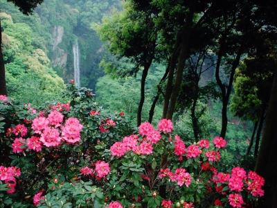 裏見の滝自然花苑しゃくなげ祭り