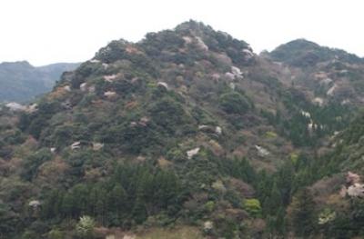 3月末から4月上旬、萱瀬ダムから黒木登山口の黒木渓谷の山腹が、白や薄紅色のヤマザクラで彩られます。